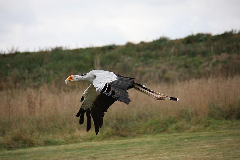 Mozambique Birds -  Sectretarybird 2
