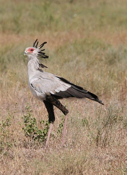 Mozambique Birds -  Sectretarybird