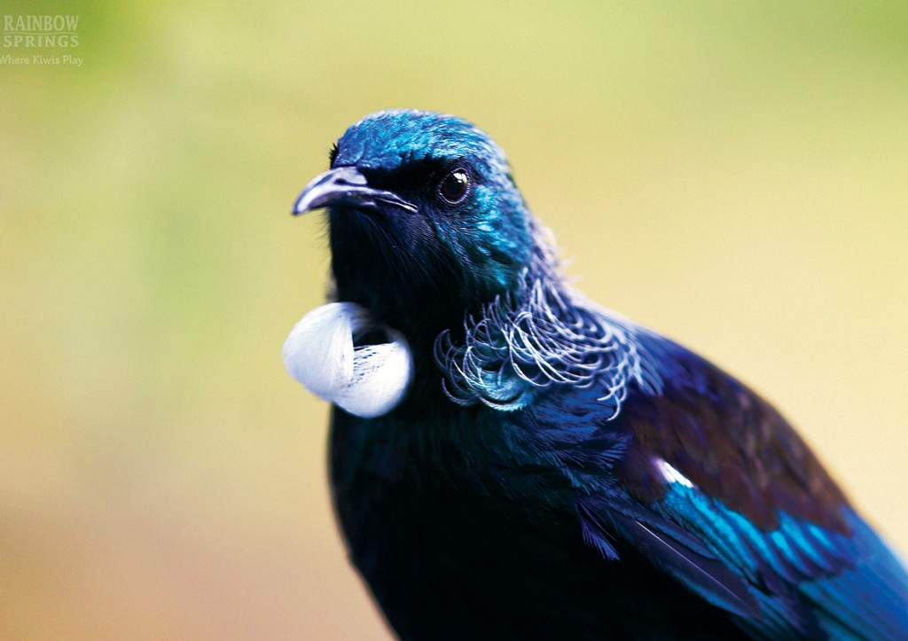 New Zealand Birds - Tui balls