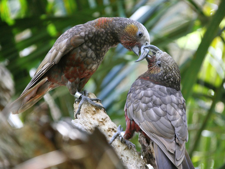 New Zealand Birds - kaka