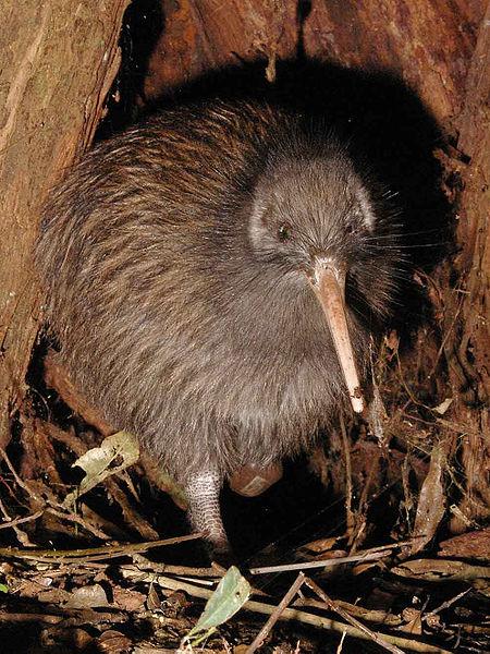 New Zealand - Kiwi