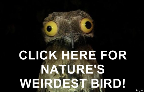 Potoo - Weirdest Bird In The Universe