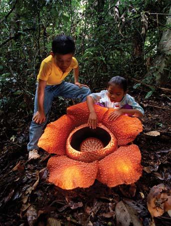 Rafflesia arnoldii - biggest flower - with children Borneo