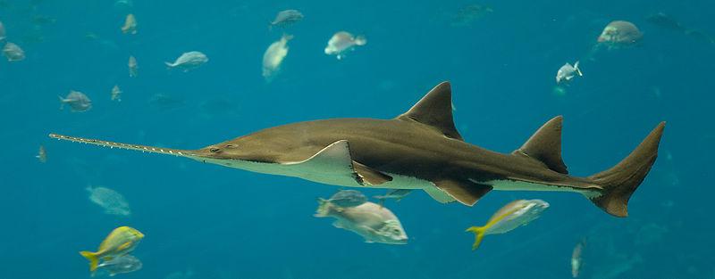 Sawfish - Ray - Facts - Pristis_pectinata