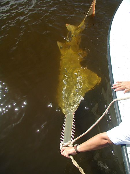 Sawfish - Ray - Facts - Tagged