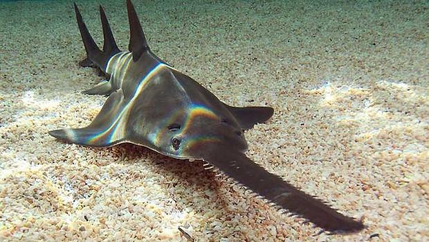 The Sawfish: Weird, Rare & Deadly • Lazer Horse