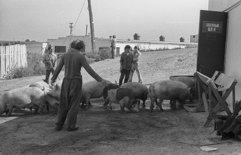 Vladimir Vorobjev - Russia Photography - 80s - pigs