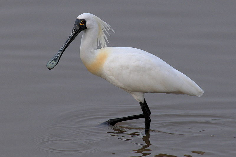 Birds - North Korea - Black-faced spoonbill