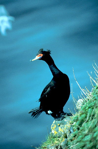 Birds - North Korea - Red-faced cormorant