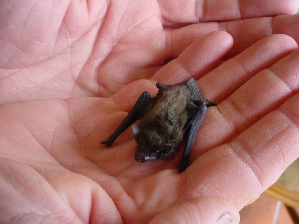 BumbleBee Bat - Kitti's Hog Nosed - being held