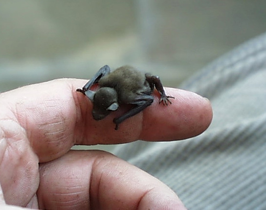 BumbleBee Bat - Kitti's Hog Nosed - close up