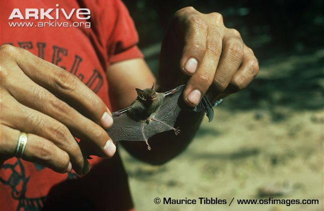 Facts about the smallest mammal found in thailand the bumblebee bat