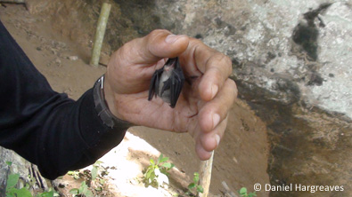 BumbleBee Bat - Kitti's Hog Nosed - with hand and arm