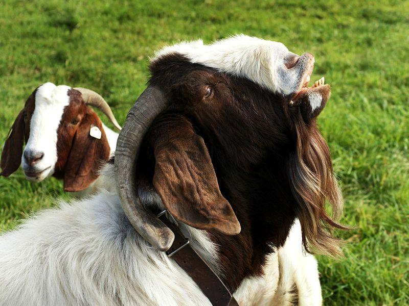Flehmen Response - Goat
