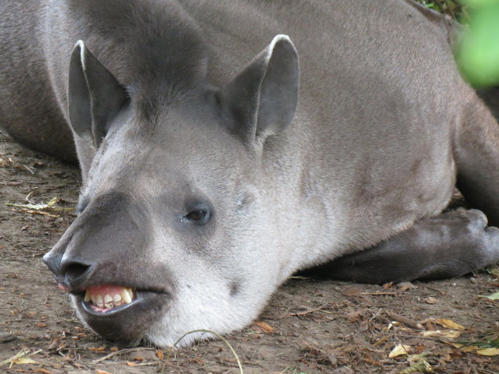 Flehmen Response - Tapir