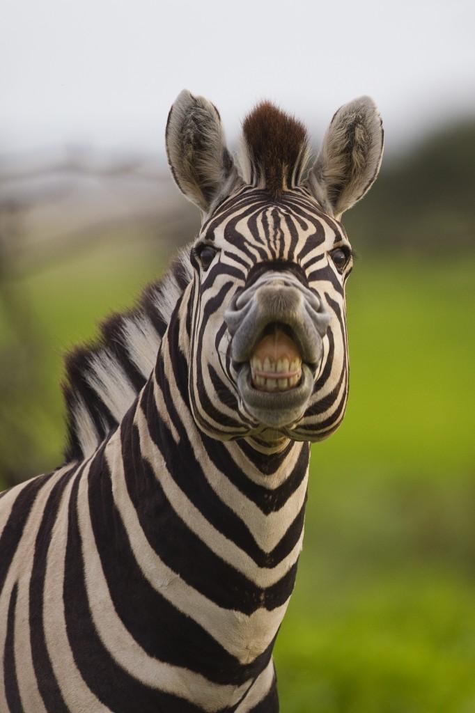 Flehmen Response - Zebra 2