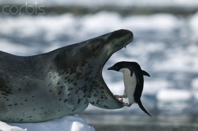 Leopard Seal: It Will Rip Your Face Off • Lazer Horse