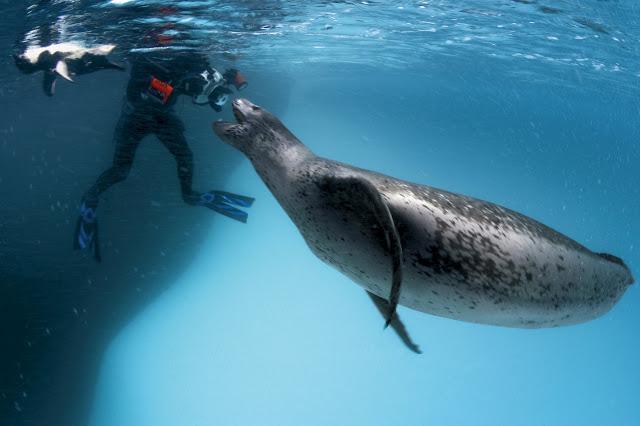 Leopard Seal - camera man