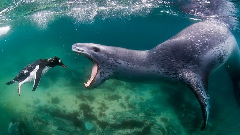 Leopard Seal - killing penguin