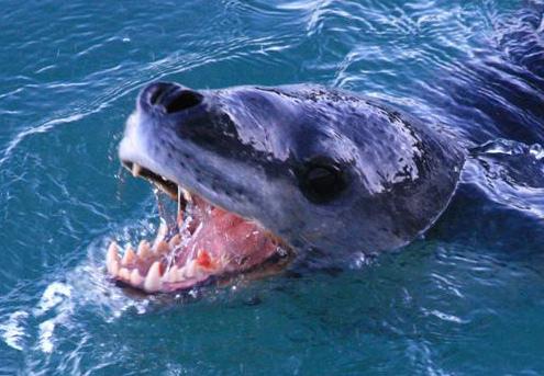 Leopard Seal - teeth