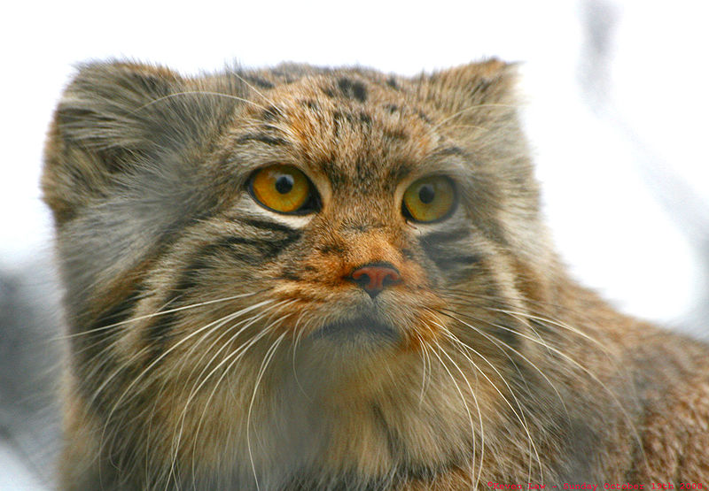 Pallas Cat - Manul - Close Up Face