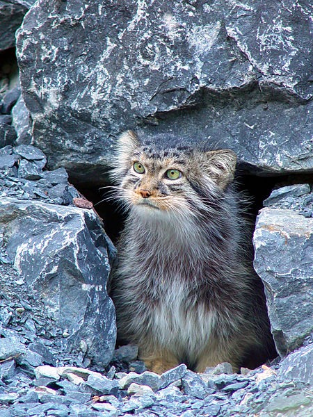 Pallas Cat - Manul - In rocks