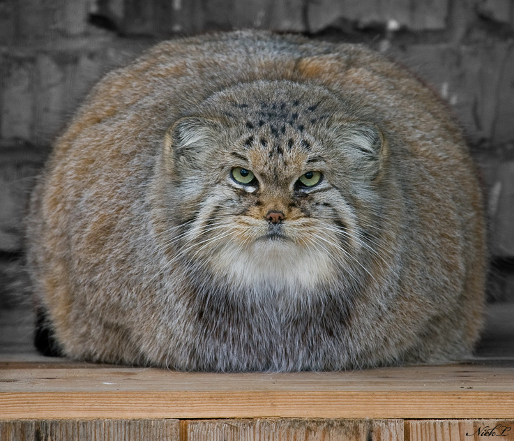 Pallas Cat - Manul - fat cat