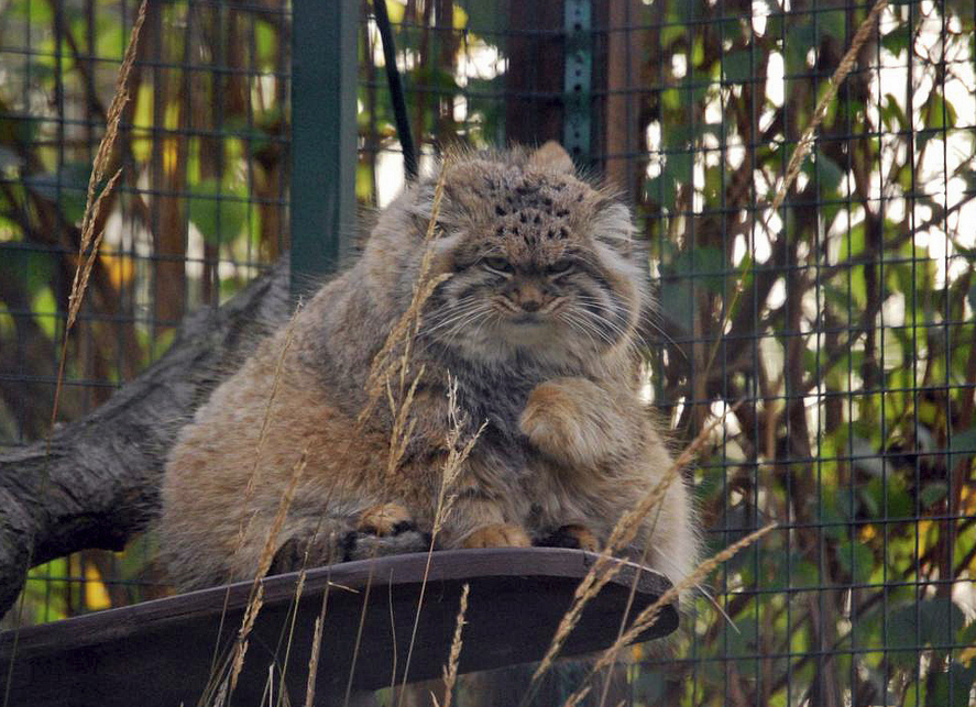 Pallas Cat - Manul - grumpiest cat