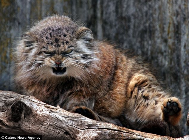 wild cats pt 1 pallas s cat lazer horse