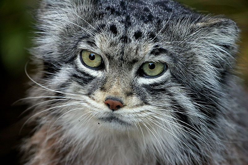 Pallas Cat - Manul - winter face