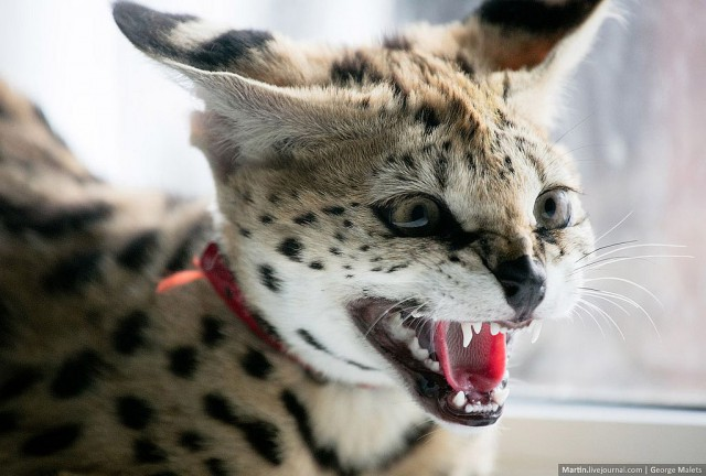 Rare Wildcat Breeder Home - Serval angry