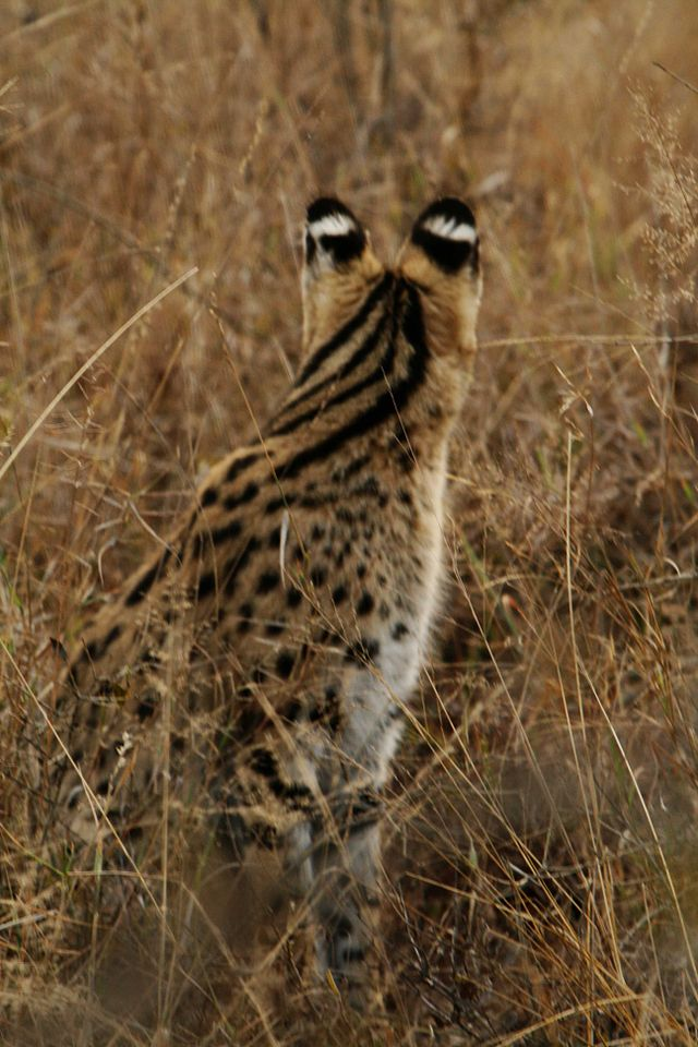 Serval - cat of spare parts 2