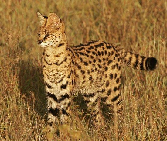 Serval cat wild - alert