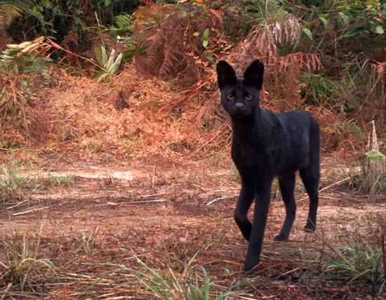Serval cat wild - black