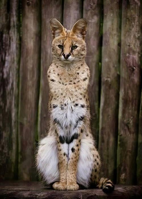 Serval cat wild - front facing