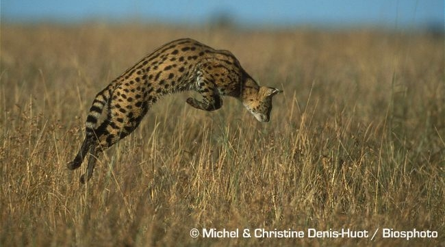 Serval cat wild - hunting