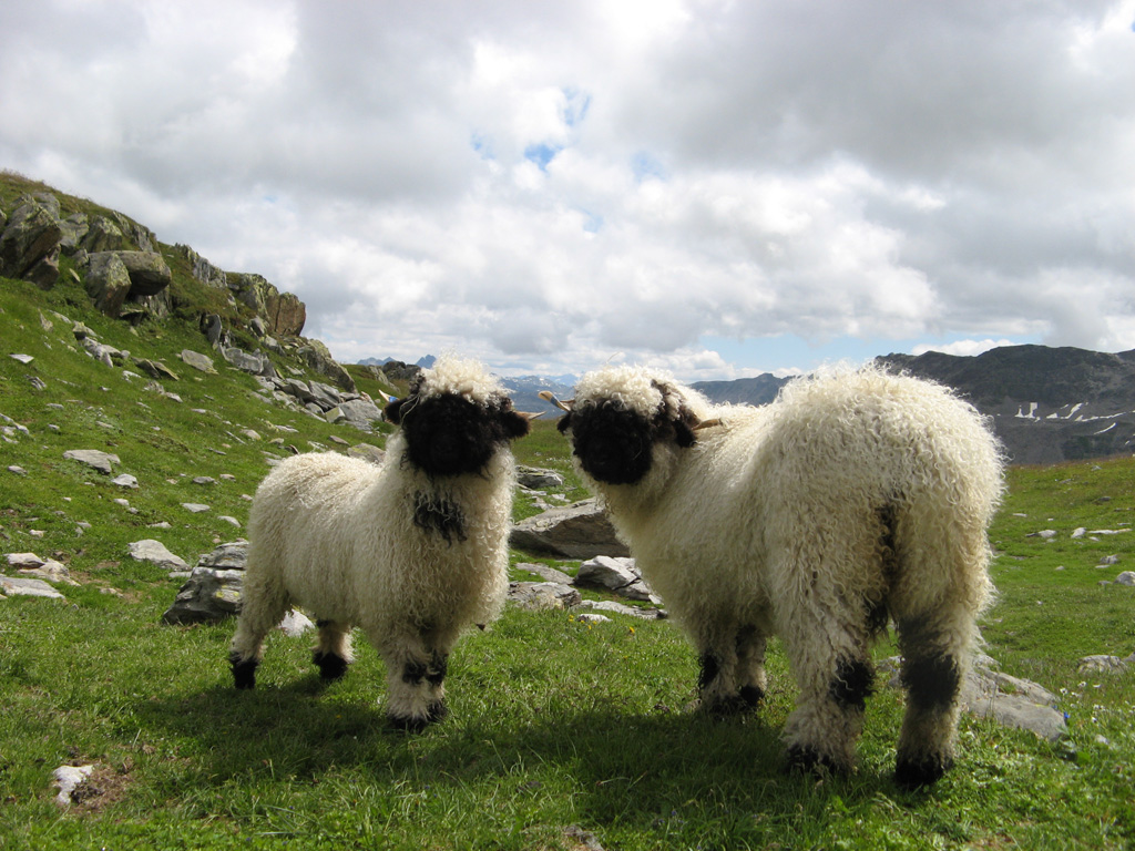 Valais Blacknose Sheep Swiss Breed - alpine breed