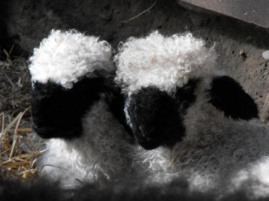 Valais Blacknose Sheep Swiss Breed - lambs