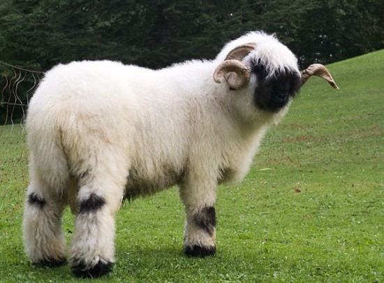Valais Blacknose Sheep Swiss Breed - older horns