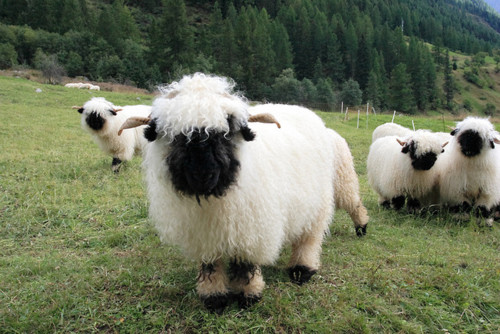 Valais Blacknose Sheep Swiss Breed - on hillside