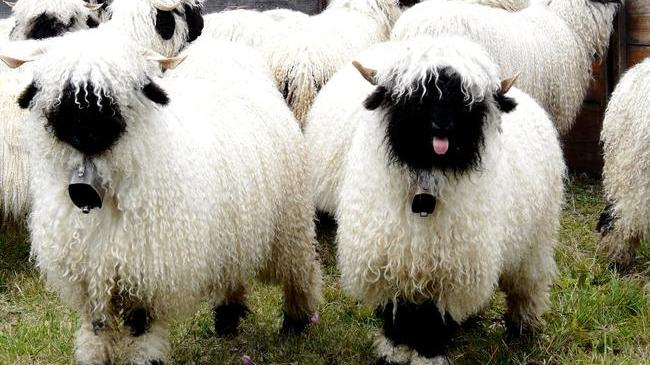 Valais Blacknose Sheep Swiss Breed - tongue out