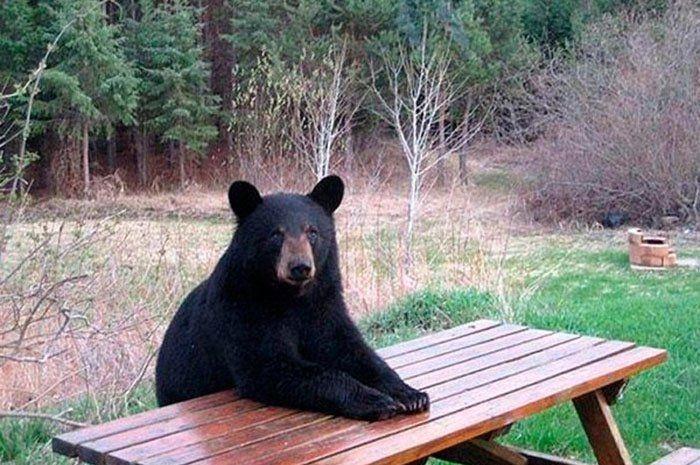 Bear At A Picnic Table