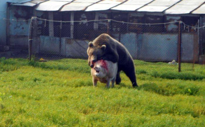 Bear Attacking Pig