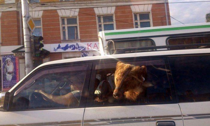Bear in a car