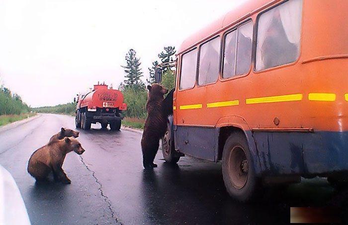 Bears Russia - bus