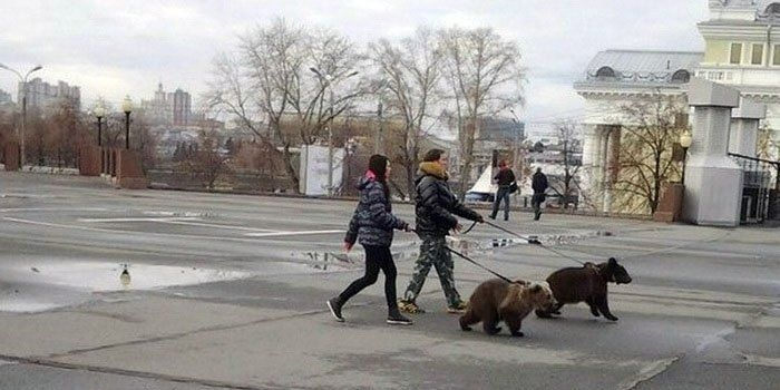 Bears Russia going for a walk
