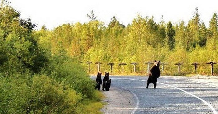 Bears Russia - nosey
