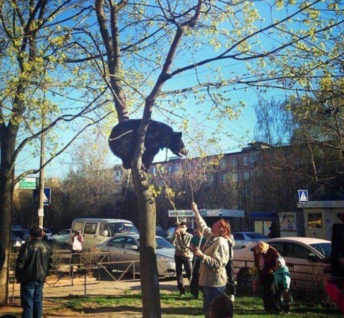 Bears Russian - in a tree