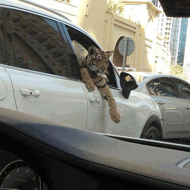 Dubai Madness - Strange Pets tiger