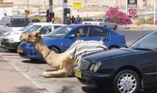 Dubai Madness - parked camel